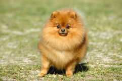 Red Pomeranian dog Royalty Free Stock Image