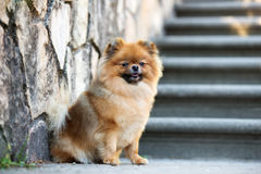 Red pomeranian spitz dog posing outdoors in summer. Adorable pomeranian spitz dog posing outdoors Royalty Free Stock Images