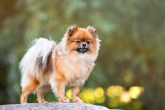 Red pomeranian spitz dog posing outdoors in summer Royalty Free Stock Image