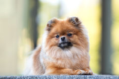 Red pomeranian spitz dog posing outdoors in summer Royalty Free Stock Photos