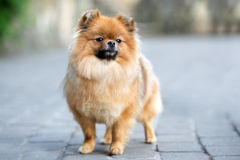 Red pomeranian spitz dog posing outdoors in summer Royalty Free Stock Photo