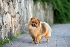 Red pomeranian spitz dog posing outdoors in summer Stock Images