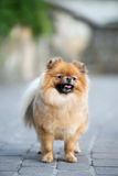 Red pomeranian spitz dog posing outdoors in summer Royalty Free Stock Images