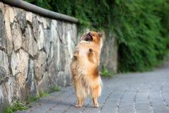 Red pomeranian spitz dog posing outdoors in summer Stock Photos