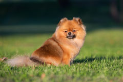 Red pomeranian spitz dog posing outdoors in summer Royalty Free Stock Photography