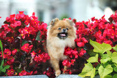 Red pomeranian spitz dog posing outdoors in summer Stock Photo