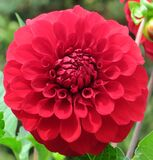 red pompom dahlia Royalty Free Stock Image