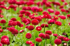 Red pomponette daisies Royalty Free Stock Photo