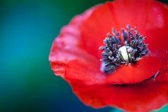 Red ponceau flower