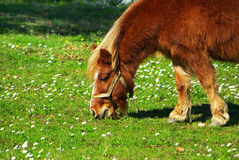 Red Poney. Red Poney grazing in field Royalty Free Stock Image