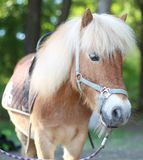 Red pony harnessed. Little horse with a red fur in summer on a walk Stock Photo
