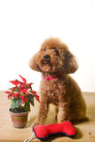 Red poodle. A cute little red poodle sitting on a wooden floor next to a flower and a bone shaped dog toy. Image on white studio background Stock Photography