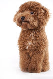 Red Poodle dog. Hi, i m red poodle, nice to meet you stock images