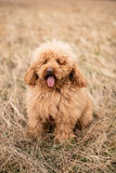 Red poodle dog Royalty Free Stock Photos