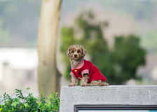 Red Poodle (Dog) Stock Photos