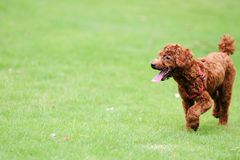 Red poodle dog running Royalty Free Stock Photography
