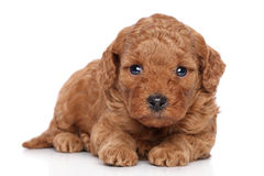 Red poodle puppy Stock Images