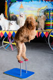 Red poodle standing Royalty Free Stock Image