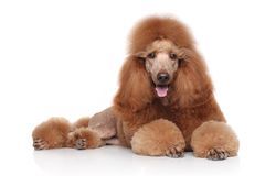Red Poodle on white background Stock Image