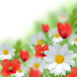 Red poopy and white daisy Royalty Free Stock Photos