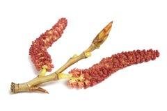 Red poplar catkins; Stock Photos