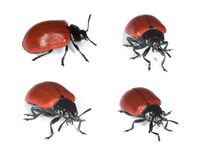 Red poplar leaf beetle. Stock Photos
