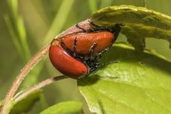 Red poplar leaf beetle(Melanosoma populi) Stock Photos