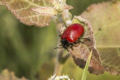 Red poplar leaf beetle (Melanosoma populi) Royalty Free Stock Photos