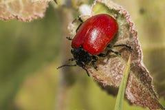 Red poplar leaf beetle (Melanosoma populi) Royalty Free Stock Images