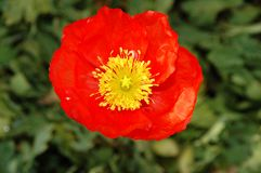 Red poppie. Shallow D.O.F stock photography
