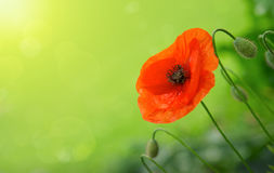 Red poppie background. Royalty Free Stock Photography