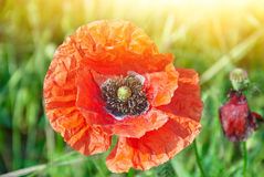 Red poppie in bright sunlight Royalty Free Stock Images