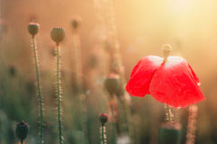 Red Poppie Flower in Field Royalty Free Stock Image