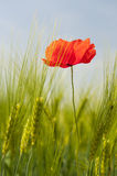Red poppie in grain. Single red poppie in agriculture grain field Royalty Free Stock Photos