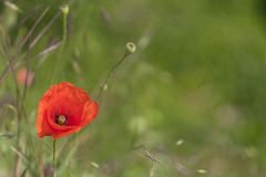 Red poppie in the green field. Poppie in the green field royalty free stock photo