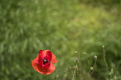 Red poppie in the green field. Poppie in the green field royalty free stock image