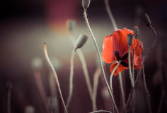 Red poppie Royalty Free Stock Images
