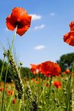 Red poppie vertical. Field with red poppies and wheat or corn against a blue sky Stock Image