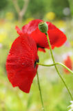 Red poppies. Details of blooming red poppies, green field in background Stock Image
