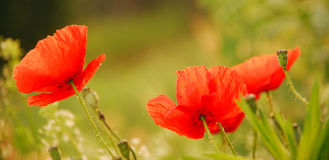Red poppies Royalty Free Stock Image