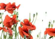 Red poppies. Isoleted on white background royalty free stock image