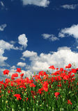 Red poppies. Field of red poppies with cumulus clouds Royalty Free Stock Photos