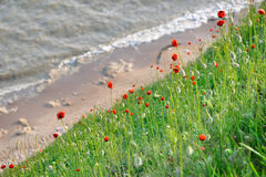 Red poppies. Blossom on seacoast Stock Images
