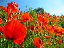 Red poppies. A lot of red poppies on a background of blue sky on a clear sunny day Royalty Free Stock Photography