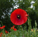 Red poppies. Many red wild poppies in meadow Stock Photos