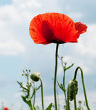 Red poppies. Red wild poppies in meadow Royalty Free Stock Image