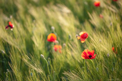 Red poppies. On green wheat field in a windy day Royalty Free Stock Photos