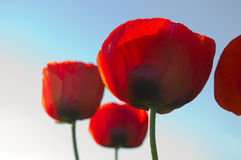 Red poppies. Some red poppies on the sky background Stock Photo