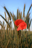 Red poppies stock photography