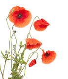 Red poppies. Isolated  on white Stock Images